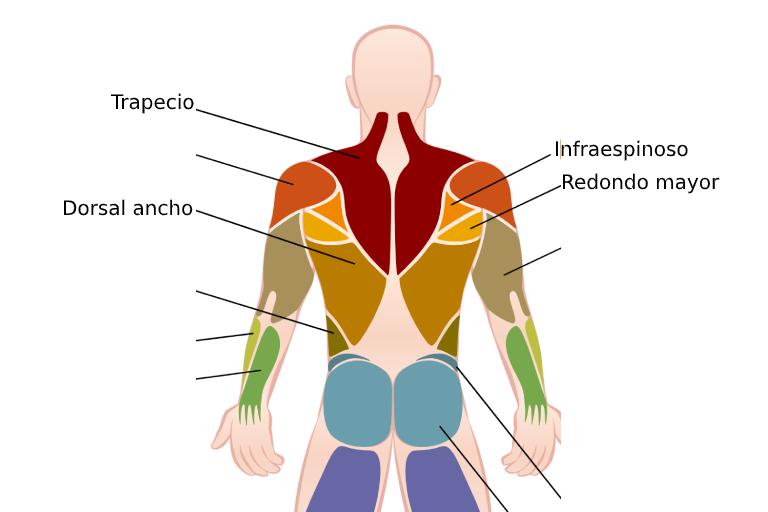 hipertrofia de espalda musculos