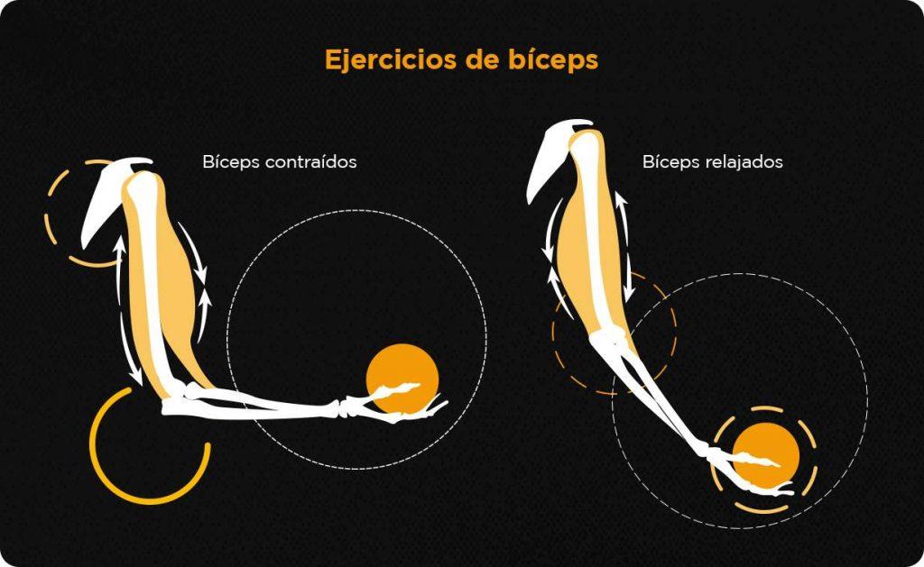 representación del movimiento de flexión de codos en los ejercicios de bíceps